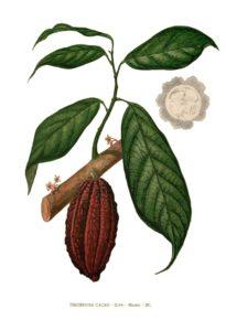 Branche de cacaotier et son fruit au salon du chocolat de Compiègne